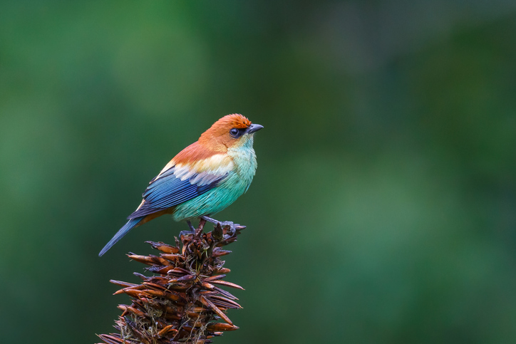 Male Chestnut backed Tanager bird